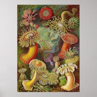 Ernst Haeckel - Actiniae Anemones print