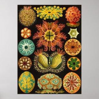Ernst Haeckel - Ascidiae print