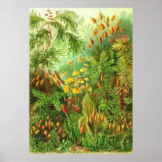 Ernst Haeckel - Muscinae print